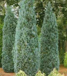 Chamaecyparis lawsoniana 'Dart's Blue Ribbon', Кипарисовик Лавсона 'Дартс Блу Риббон'