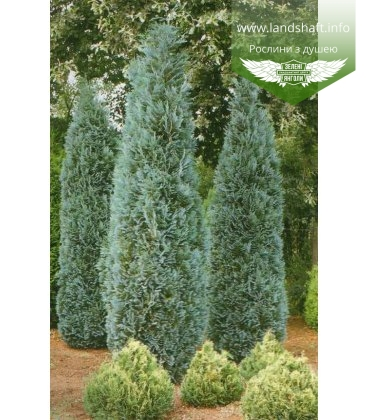 Chamaecyparis lawsoniana 'Dart's Blue Ribbon' Кипарисовик Лавсона