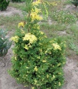 Chamaecyparis obtusa 'Saffron Spray' Кипарисовик туполистий