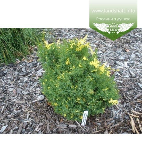 Chamaecyparis obtusa 'Saffron Spray', Кипарисовик туполистий 'Саффрон Спрей'