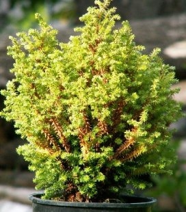 Chamaecyparis pisifera 'Spaan's Cannonball' Кипарисовик горохоплідний