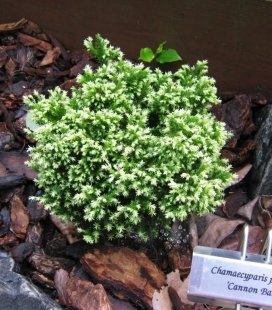 Chamaecyparis pisifera 'Spaan's Cannonball', Кипарисовик горохоплодный 'Спаанс Каннонболл'