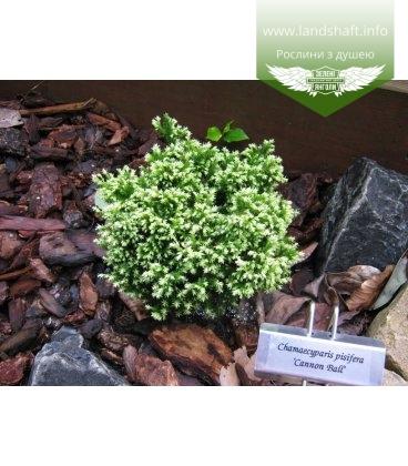 Chamaecyparis pisifera 'Spaan's Cannonball', Кипарисовик горохоплідний 'Спаанс Канонбол'