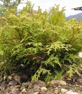 Chamaecyparis obtusa 'Kamarachiba', Кипарисовик туполистный 'Камарачиба'