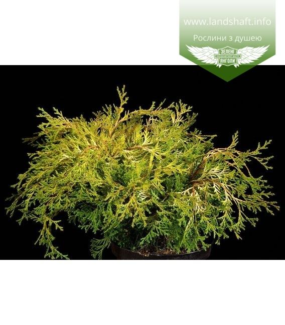Chamaecyparis obtusa 'Kamarachiba', Кипарисовик туполистий 'Камарачіба'