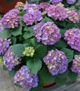Hydrangea macrophylla 'Early Blue', Гортензія крупнолиста 'Ерлі Блу'