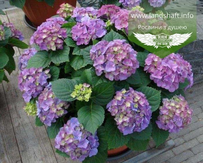 https://landshaft.info/3262-thickbox_default/hydrangea-macrophylla-early-blue-gortenziya-krupnolistova.jpg