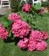 Hydrangea macrophylla 'Leuchtfeuer', Гортензия крупнолистная 'Лойтфойер'