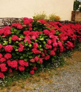 Hydrangea macrophylla 'Royal Red' Гортензія крупнолиста