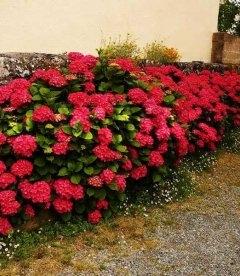 Hydrangea macrophylla 'Royal Red', Гортензия крупнолистная 'Роял Ред'