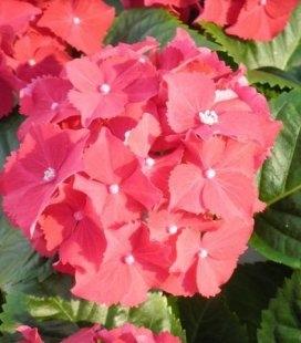 Hydrangea macrophylla 'Royal Red' Гортензия крупнолистная