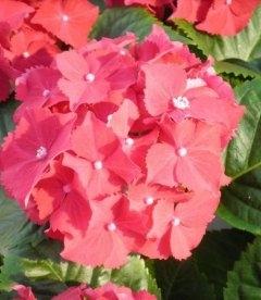 Hydrangea macrophylla 'Royal Red', Гортензія крупнолиста 'Роял Ред'