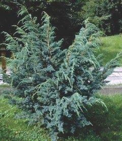 Juniperus squamata 'Meyeri', Ялівець лускатий 'Меєрі'