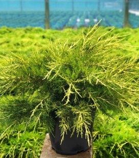 Juniperus chinensis 'Kuriwao Gold', Ялівець китайський 'Курівао Голд'