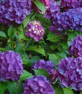 Hydrangea macrophylla 'Red Beauty Lila' Гортензія крупнолиста