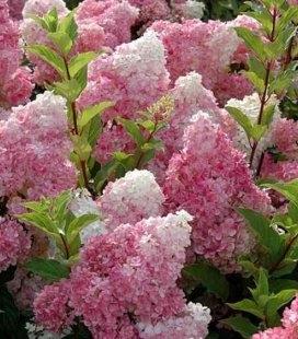 Hydrangea paniculata 'Vanille Fraise' Гортензія волотиста
