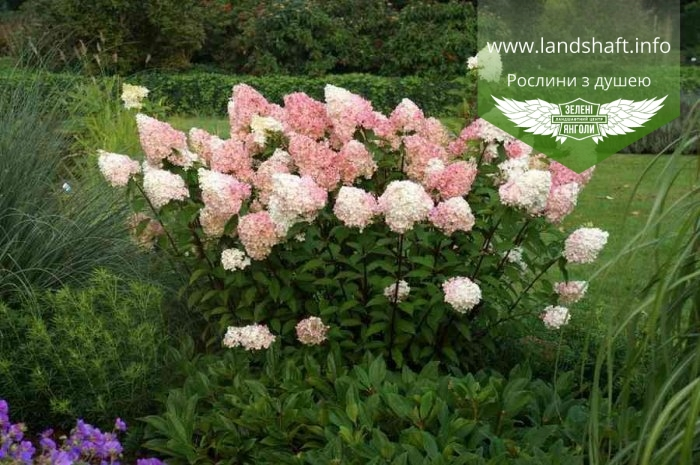 hydrangea paniculata 39 vanille fraise 39. Black Bedroom Furniture Sets. Home Design Ideas
