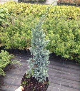 Juniperus squamata 'Meyeri', Можжевельник чешуйчатый 'Меери'