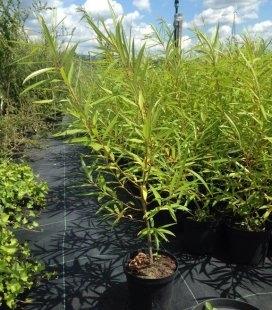 Salix udensis 'Sekka', Верба удинська 'Секка'