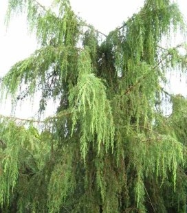 Juniperus communis 'Horstmann', Можжевельник обыкновенный 'Хортсманн'