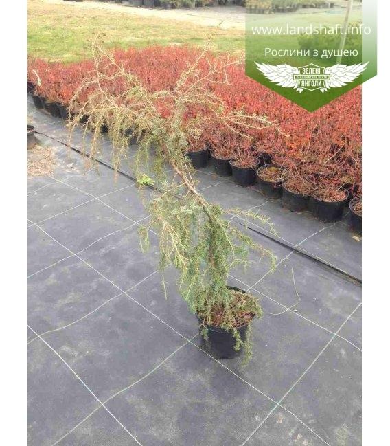 Juniperus communis 'Horstmann', Ялівець звичайний 'Хорстманн'