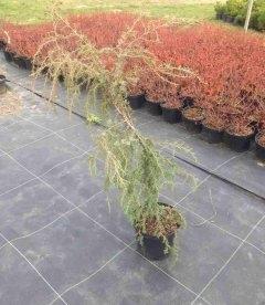 Juniperus communis 'Horstmann' Можжевельник обыкновенный