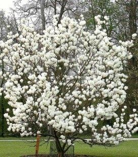 Magnolia soulangeana 'Lennei Alba', Магнолія Суланжа 'Леннеі Альба'