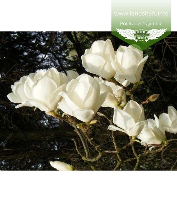 Magnolia x soulangeana 'Lennei Alba' Магнолия Суланжа