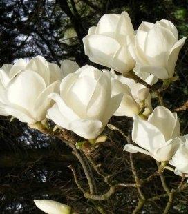 Magnolia x soulangeana 'Lennei Alba', Магнолія Суланжа 'Леннеі Альба'