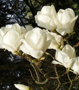 Magnolia x soulangeana 'Lennei Alba', Магнолия Суланжа 'Леннеи Альба'