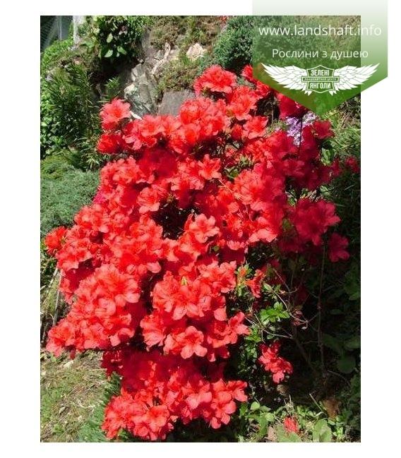 Azalea japonica 'Fridoline' Азалия японская