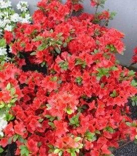 Azalea japonica 'Fridoline', Азалия японская 'Фридолин'