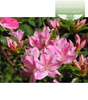 Azalea japonica 'Kermesina Rose' Азалия японская