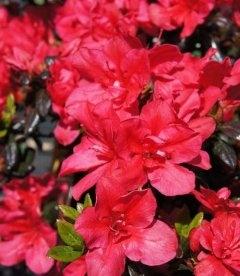 Azalea japonica 'Maruschka' Азалия японская