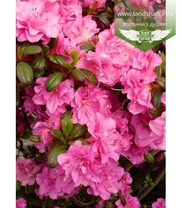 Azalea japonica 'Petticoat' Азалия японская