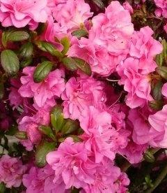 Azalea japonica 'Petticoat', Азалия японская 'Петтикот'