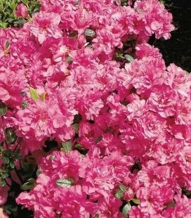 Azalea japonica 'Petticoat', Азалія японська 'Петікот'