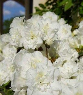 Azalea japonica 'Schneeperle' Азалия японская 'Шнееперле'