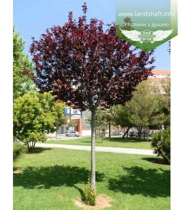 Prunus cerasifera 'Pissardii' Слива растопыренная штамб