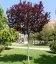 Prunus cerasifera 'Pissardii', Слива Піссарда