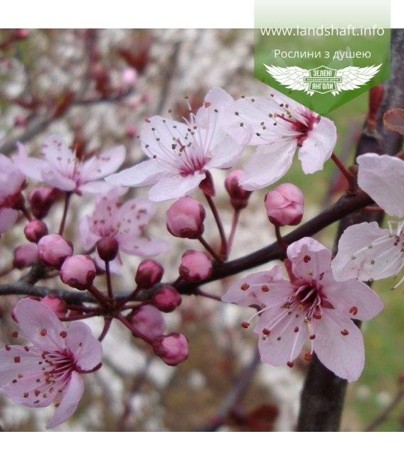 Prunus Pissardi, Слива Піссарда
