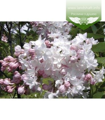 Syringa vulgaris 'Krasavitsa Moskvy' Сирень обыкновенная (штамб)