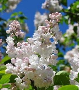 Syringa vulgaris 'Krasavitsa Moskvy' Бузок звичайний (штамб)