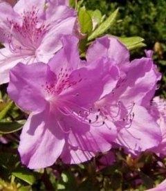 Azalea japonica 'Ledikanense' Азалия японская