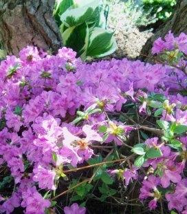 Azalea japonica 'Ledikanense', Азалия японская 'Ледиканенс'