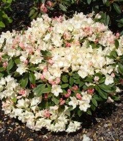 Rhododendron yakushimanum 'Golden Torch', Рододендрон якусимский 'Голден Торч'
