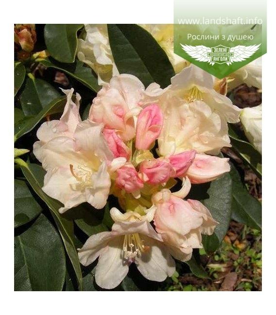 Rhododendron yakushimanum 'Golden Torch' Рододендрон якусимский