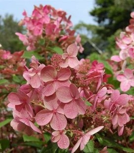 Hydrangea paniculata 'Bulk/Early Sensation', Гортензия метельчатая 'Булк/Ерли Сенсейшн'