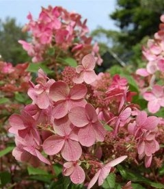 Hydrangea paniculata 'Bulk / Early Sensation', Гортензія волотиста 'Булк / Ерлі Сенсейшн'