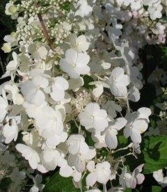 Hydrangea paniculata 'Bulk' ('Early Sensation') Гортензия метельчатая (штамб)